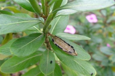 Closer-look-of-mature-fruit-releasing-their-seeds