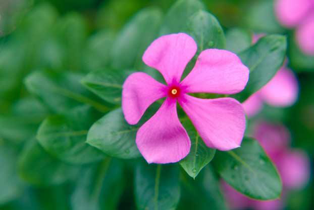 Closer-view-of-Madagascar-periwinkle