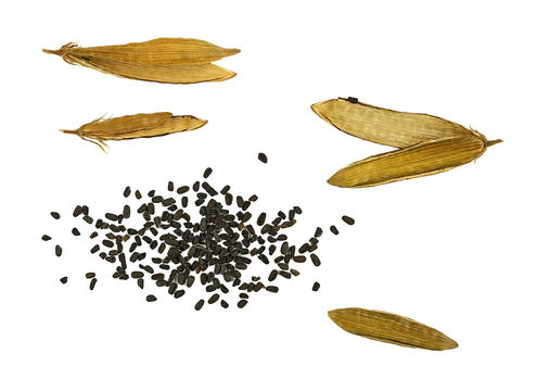 Dried-fruit-and-Seeds-of-Madagascar-periwinkle