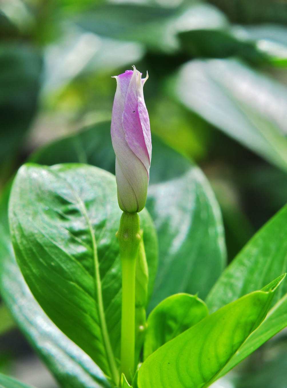 Madagascar periwinkle facts and health benefits