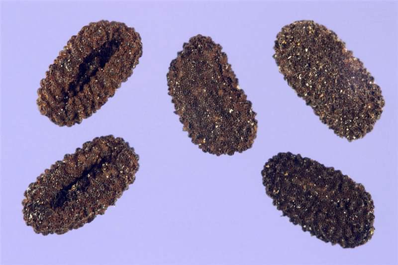 Seeds-of-Madagascar-periwinkle