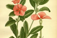 Madagascar-periwinkle-plant-Illustration