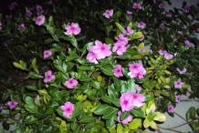 Madagascar-periwinkle-bushes