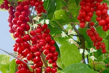Magnolia-Berry-on-the-tree