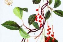 Plant-Illustration-of-Magnolia-Berry