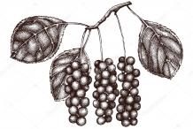 Sketch-of-Magnolia-Berry