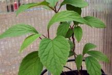 Small-Magnolia-Berry