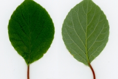 Dorsal-and-ventral-view-of-leaves-of-Magnolia-Berry