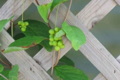 Green-berries-of-Magnolia-Berry