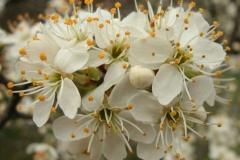 Closer-view-of-flowers-of-Mahaleb-cherry