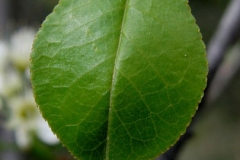 Closer-view-of-leaf-of-Mahaleb-cherry