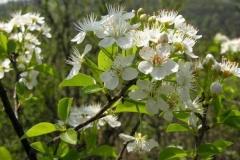 Flowers-of-Mahaleb-cherry