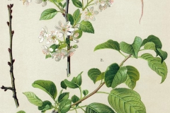 Plant-Illustration-of-Mahaleb-cherry
