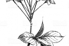 Sketch-of-Mahaleb-cherry