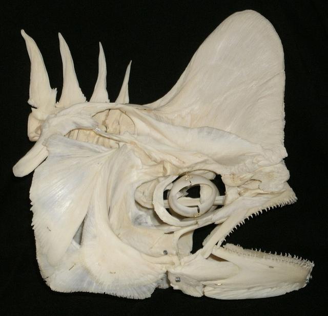 Skull-of-Mahi-Mahi-fish