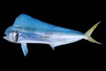 Mahi-Mahi-fish