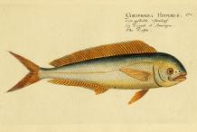 Illustration-of-Mahi-Mahi-fish