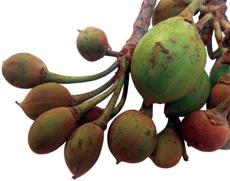 Fruit-of-mahua-tree