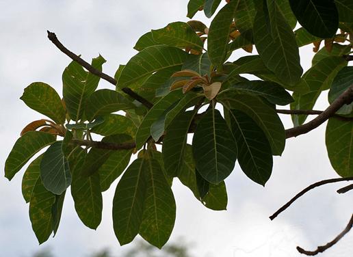 Leaves-of-Mahua-plant