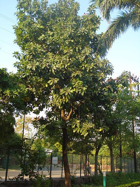 Mahua--Plant