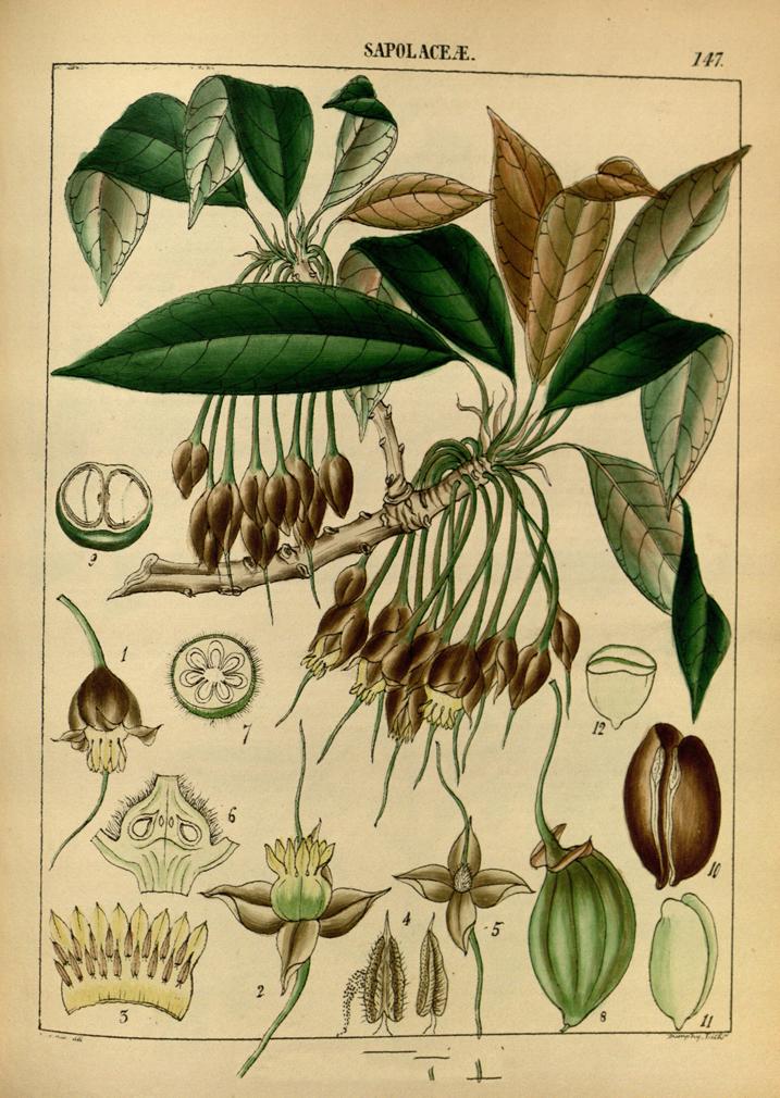 Plant-Illustration-of-Mahua
