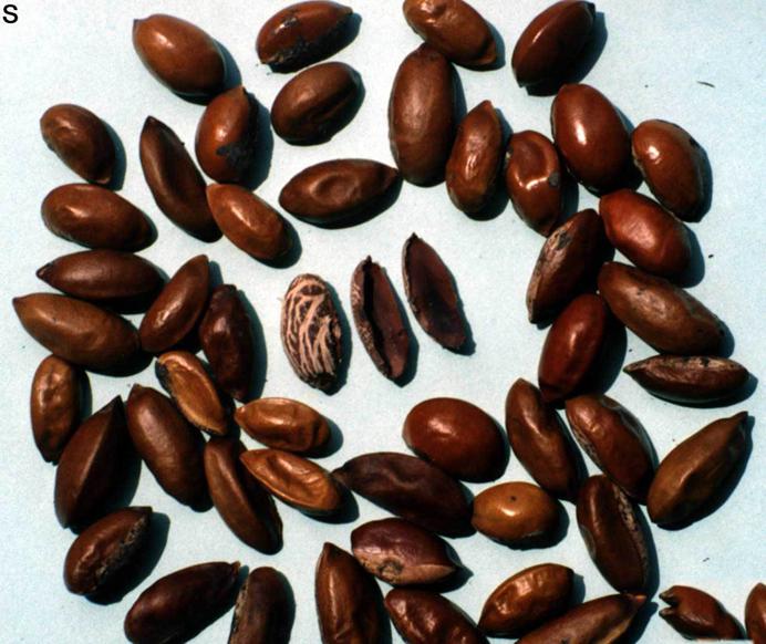 Seeds-of-Mahua-plant