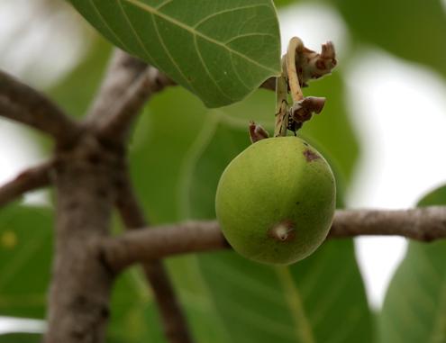 Unripe-fruit-of-Mahua