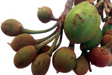 Fruit-of-mahua-tree
