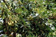Mahua-on-the-tree