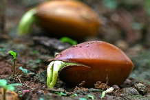 New-sapling-coming-from-mahua-seeds