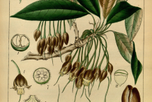 Plant-Illustration-of-Mahua