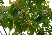 Leaves-and-fruit-of-Mahua--plant