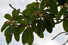 Leaves-of-Mahua-plant
