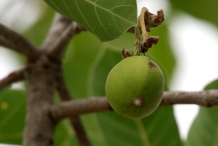 Unripe-fruit-of-Mahua