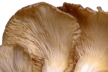 Closer-view-of-ventral-side-of-Maitake-Mushroom