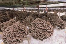 Maitake-Mushroom-cultivation