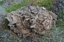 Maitake-Mushroom