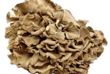 Maitake-mushroom-3