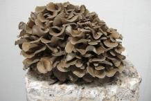 Maitake-mushroom-4