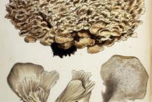 Plant-Illustration-of-Maitake-Mushroom