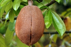 Close-view-of-Malabar-chestnut