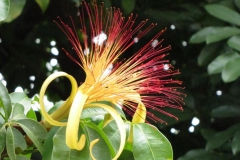 Malabar-chestnut-flower