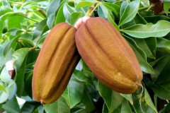 Malabar-chestnut-fruits