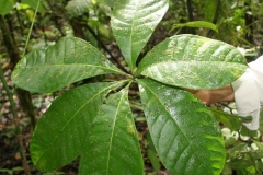 Malabar-chestnut-leaves