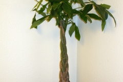 Malabar-chestnut-plant
