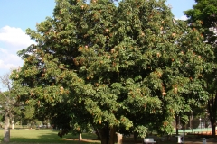 Malabar-chestnut-tree