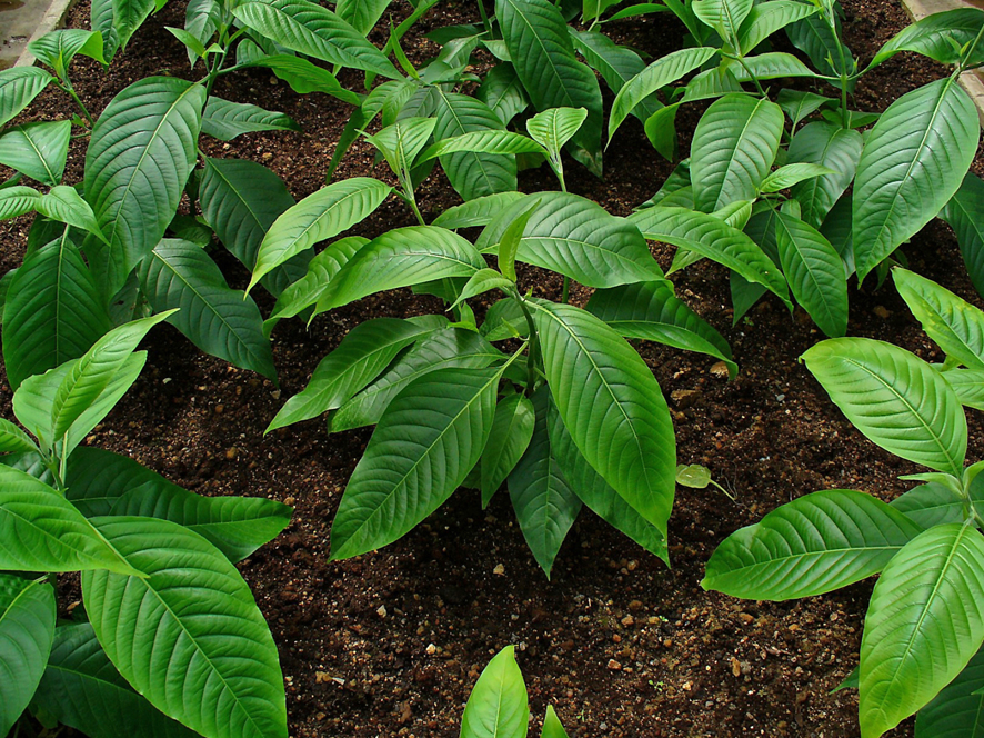 Malabar-nut-leaves