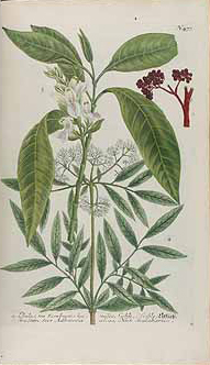 Malabar-plant-illustration