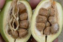 Malabar-fruit-cut