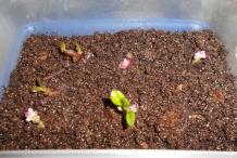Malabar-sprouts